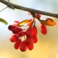 berberine-fruit-fb.jpg